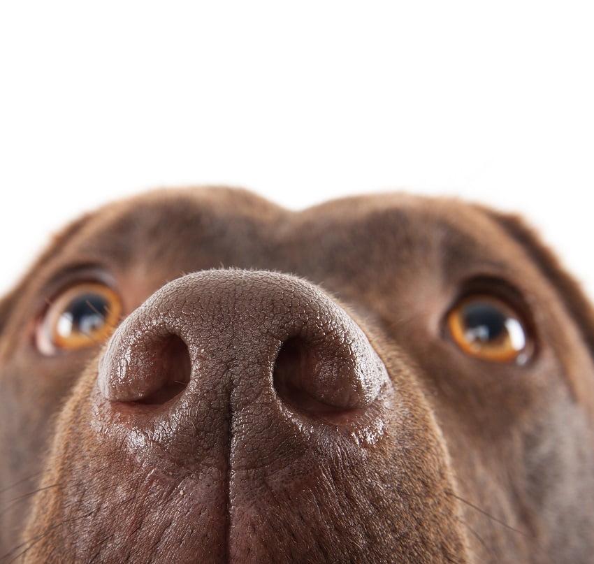 Cão come cocó