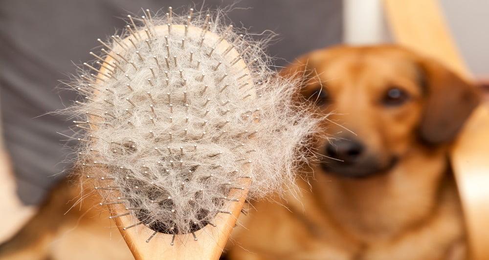 Escovagem cão