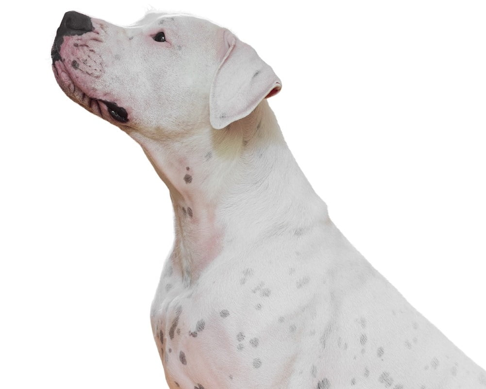 Dogue Argentino