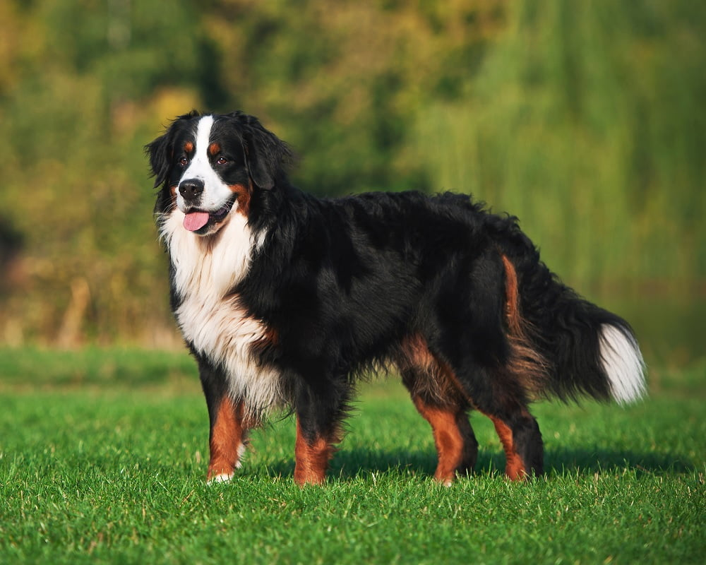 Cão de Montanha de Berna